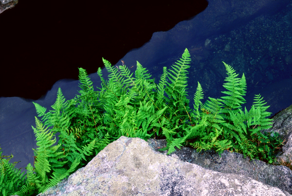 Spray of Ferns. [27]
