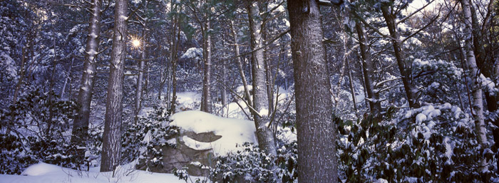 Winter Sun, White Pine and Mountain Laurel [2060]